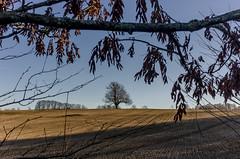 Fields Of Gold (TLU66) Tags: fieldsofgold heer field gold coolpixa drøbak norway tree jorde nature serenity autumn høst framing beautyofnature sting songtext f9 høstfarger autumncolors