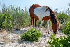 Assateague Pony by Angela Multhup (Maryland DNR) Tags: 2018 photocontest wildlife mammals ponies horses assateague