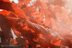 Autumn Leaves (Michiyo Kurosawa) Tags: autumn leaves red winter 2018 canon england garden kewgarden southern beauty nature natural sunray sun daylight