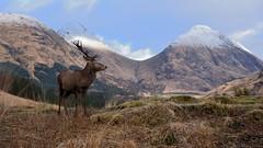 Red Deer Stag (andrewmckie) Tags: glenetive reddeer stag deer mammals wildlife scottish scotland scottishwildlife scenery scottishscenery