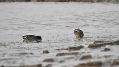 Teals (LouisaHocking) Tags: burnhamonsea teal british bird waterfowl southwest england britain duck drake wild wildlife nature mud mudflats sea seaside coast coastal beach