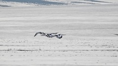 Oyster Catcher (LouisaHocking) Tags: burnhamonsea mudflats mud coast coastal southwest wild wildlife nature british britain england bird beach sea seaside oystercatcher