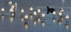 Gulls on ice (ArtGordon1) Tags: davegordon davidgordon daveartgordon davidagordon daveagordon artgordon1 winter hollowpond hollowponds leytonstone london england uk january 2019 bird birds gull seagull