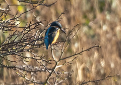 kingfisher (marra121) Tags: siddick ponds cumbria birds water branches trees kingfisher kestrel great tit mute swan geese golden eye little grade cormorant goosanders flying flight