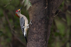 Golden-fronted Woodpecker (Melanerpes aurifrons), National Butterfly Center, Hidalgo County, Texas (kmalone98) Tags: goldenfronted woodpecker goldenfrontedwoodpecker nationalbutterflycenter