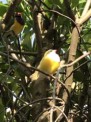 Lady Gouldian finches from Australia (h2kyaks) Tags: butterflyworld ladygouldianfinch australia