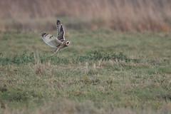 Short-eared Owl (Marvandae) Tags: velduil uitkerksepolder shortearedowl