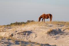 Wild (Feral) Horse on the Beach (drbradkent) Tags: horse wild feral beach sand sky assateague maryland