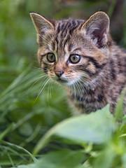Close portrait of a kitten (Tambako the Jaguar) Tags: wildcat wild feline kitten young small baby cute posing portrait close grass vegetation tierpark goldau zoo switzerland nikon d5