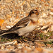 Snow Bunting foraging for food
