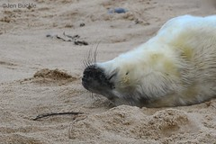 Peaceful sleep (Jen Buckle) Tags: seal sealpup greyseal greysealpup winterton wintertononsea norfolk jenbuckle nikon nikond7500 beach sand pup youngseal