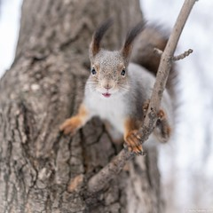 Squirrel is going to jump from a tree branch (Berilyon) Tags: squirrel jumping tree rodent background animal cute forest wildlife closeup environment nature wild arboreal bark branches moving light funny exciting trunk brown species comical winter