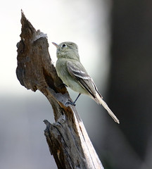 Cordilleran Flycatcher (Empidonax occidentalis); SantaFe National Forest, NM, Thompson Ridge [Lou Feltz] (deserttoad) Tags: nature newmexico animal bird fauna wildbird songbird flycatcher mountain nationalforest