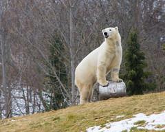 Tongue & Keg (Rackelh) Tags: polarbear polar bear white keg tongue animal mammal zoo winter toronto ontario canada