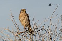 Cernícalo común (Falco tinnunculus) (jsnchezyage) Tags: cernícalocomún falcotinnunculus ave pájaro rapaz bird birding birdwatching ornithology beak feather birdofprey ngc