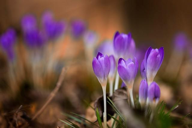 Обои макро, цветы, весна, крокусы картинки на рабочий стол, раздел цветы - скачать