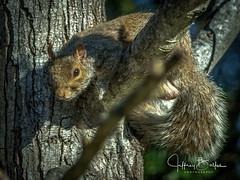 Squirrel-7964 (Jeffrey Balfus (thx for 3.3 Million views)) Tags: squirrel sonyalpha sonyilce6300 sony6300 mirrorless sonyemount sony70400mmf45gssmii thegalaxy