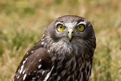 Not just the Eyes (armct) Tags: ninoxconnivens barkingowl owl medium australia lamington plateau rainforest raptor birdofprey eyes stare oreillys