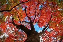 Momiji (namhdyk) Tags: momiji autumn autumnleaves fall tree trees canon canonpowershot canonpowershotg7x