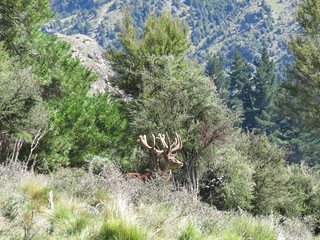 New Zealand Trophy Red Stag Hunting - Kaikoura 45