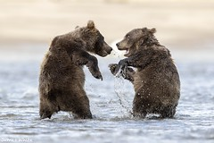 Brown bear cubs playing (Jims Wildlife) Tags: lakeclarknationalpark brownbear bearcubs ursusarctoshorribilis alaska
