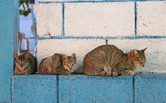 Three Cats (peterkelly) Tags: digital canon 6d cuba northamerica gadventures cubalibre guanahacabibespeninsulanationalpark hotelmarialagorda blue cats cat kittens kitten patio bar