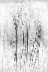 winter's in the meadow (courtney065) Tags: highkey monochrome nikond800 nature naturephotography artistic abstract bw blackandwhite foliage winterfoliage meadow fieldofblooms landscapes grasses wintergrasses blurred white texture glow soft branchlets winterblooms painterly serenitynow whiteblooms vignette