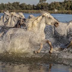 Chevaux en Camargue (Xtian du Gard) Tags: xtiandugard camargue chevaux horses liberty cavalcade chevauchée mouvement provence france nature animaux