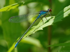 Erythromma viridulum - male (damianziel) Tags: pentax nature natur natural naturephotography naturaleza natura wildlife animal animals insect insects flickr digital tamron tamron90mm macro macrounlimited damselfly fauna