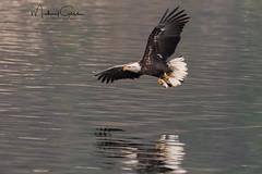 Zeroing In (NikonDigifan) Tags: eagle raptor birdwatching bird naturephotography nature wildlife wildlifephotography animal idaho lakecoeurdalene pnw pacificnorthwest mikegassphotography reflection naturesbest