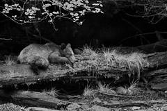 Pooped out...DSC_6369Dec 29 2018 (Stormpeak_1) Tags: khutzeymateen britishcolumbia canada greatbearrainforest grizzlybear bear blackandwhite wildlife wilderness nature nikon nikond500 nikon80400mm bw