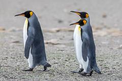 Come along now - no dawdling! (Linda Martin Photography) Tags: kingpenguin saundersisland spheniscidae southatlanticocean falklandislands aptenodytespatagonicus coth naturethroughthelens ngc coth5 alittlebeauty fantasticnature npc