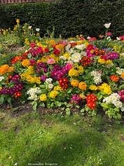 fleurs-devant-mairie© (alexandrarougeron) Tags: photo alexandra rougeron fleur plante nature flickr