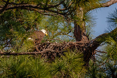 Little Eagles-2 (Les Greenwood Photography) Tags: eagle nature nest wildlife woods babies