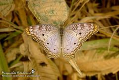 Anartia jatrophae (Linnaeus, 1763) (Marquinhos Aventureiro) Tags: anartia jatrophae borboleta butterfly nymphalidae wildlife vida selvagem natureza floresta brasil brazil hx400 marquinhos aventureiro marquinhosaventureiro
