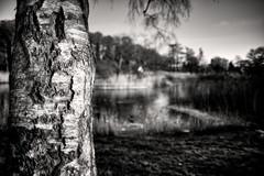 Birk24 (Svendborgphoto) Tags: denmark d800 dof bw bokeh blackandwhite blur nikkor nikon nature 24mm f2 aisnikkor monochrome black tree winter