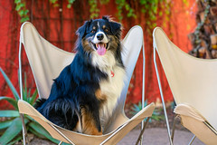 Sittin' Pretty (jayvan) Tags: dash aussie australianshepherd dog chair happy phoenixbotanicalgarden phoenix arizona roadtrip twtme