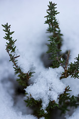Thyme in winter (Raoul Pop) Tags: cimbru focusstack garden herb home leaves macro snow thyme winter