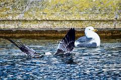 Sous l'eau (thierrybalint) Tags: oiseau goéland bird eau water parc borely marseille park nikon nikoniste balint thierrybalint bain bath