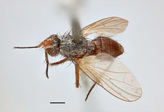 Musca conformis Fallén, 1825 (Biological Museum, Lund University: Entomology) Tags: fallén diptera anthomyiidae musca conformis pegomya mzlutype00497 taxonomy:binomial=muscaconformis