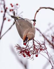 Waxwing Picking Berries (Chris Willis 10) Tags: waxwings bird animal nature wildlife feather beak flying animalwing oneanimal outdoors branch animalsinthewild beautyinnature red birdwatching colorimage nopeople closeup white spreadwings rowanberries