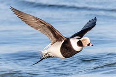 Long-tailed Duck (tresed47) Tags: 2019 201902feb 20190205indianriverbirds birds canon7dmkii content delaware ducks folder indianriverinlet longtailedduck peterscamera petersphotos places season takenby us winter
