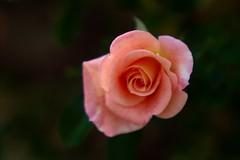 Bouquet Vanille      Pathé <<Fluor F>> 115mm (情事針寸II) Tags: クローズアップ 自然 花 薔薇園 薔薇 bokeh projectionlens closeup nature fleur flower rosegarden rose pathéfluorf115mm