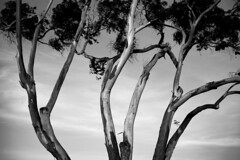 *** (Misha Sokolnikov) Tags: blackandwhite sanfrancisco california ca sf tree trees sunset nocrop abstract noiretblanc monochrome leica leicamonochrom 50mm aposummicron asph