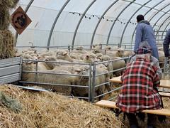 DSCN8044 (keepps) Tags: switzerland suisse schweiz vaud brent fall autumn 532èmefoiredebrent animal sheep