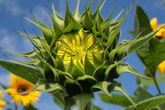A beauty arises (libra1054) Tags: sunflowers sonnenblumen girasoli girassóis tournesols girasols girasoles flowers blumen fiori flores fleurs flors flora macro closeup