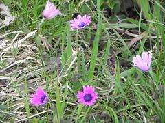 DSCN0071 (Gianluigi Roda / Photographer) Tags: springtime april 2013 wildflowers anemonehortensis