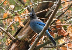 In Yosemite, the wildlife demands you take their pictures! (Ruby 2417) Tags: stellars jay blue autumn fall bird wildlife nature yosemite valley national park sierras sierra nevada