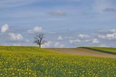 Stöbern in farbigen Zeiten... (Uli He - Fotofee) Tags: gelb raps farbe himmel ulrike ulrikehe uli ulihe ulrikehergert hergert nikon nikond90 fotofee