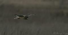 Short Eared Owl: Last Light -0199 (WendyCoops224) Tags: 100400mml 80d fens canon eos ©wendycooper short eared owl dusk flight raptors owls